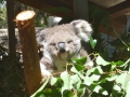 Koala Hospital in Port Macquarie