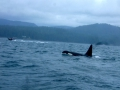 Whale Watching - Vancouver Island