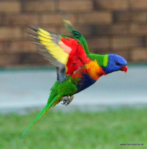 Papagei im Anflug